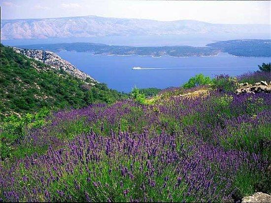 Hvar Island, Croatie : lavanda fields hvar