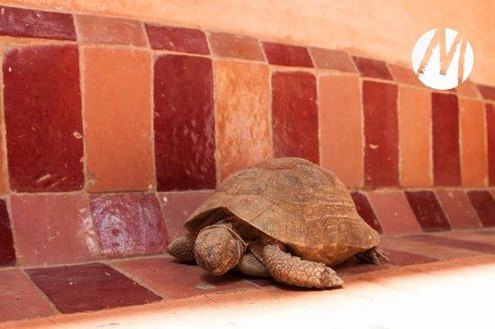 Riad Chorfa : The turtle..