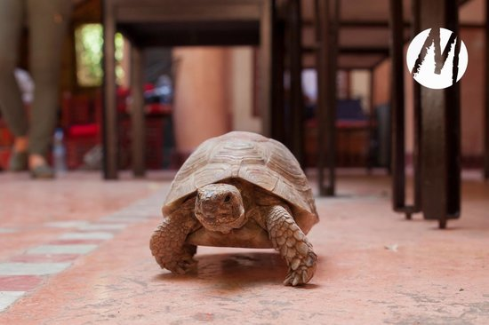Riad Chorfa : The turtles are pets at this riad