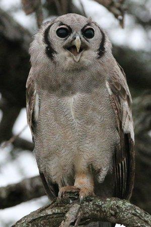 Porini Amboseli Camp : morning owl
