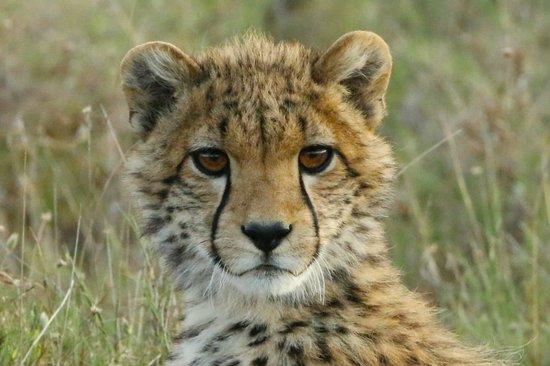 Porini Rhino Camp: Curious cheetah