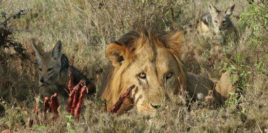 Porini Rhino Camp : Jackals in waiting...