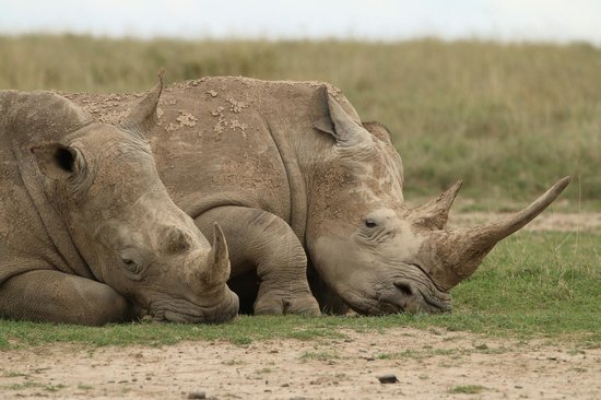 Porini Rhino Camp: Luvky to see plenty of rhinos..