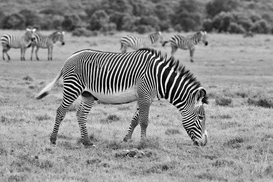 Porini Rhino Camp : Lovely greyvi zebra