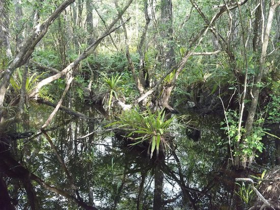Corkscrew Swamp Sanctuary : Interesting native plants