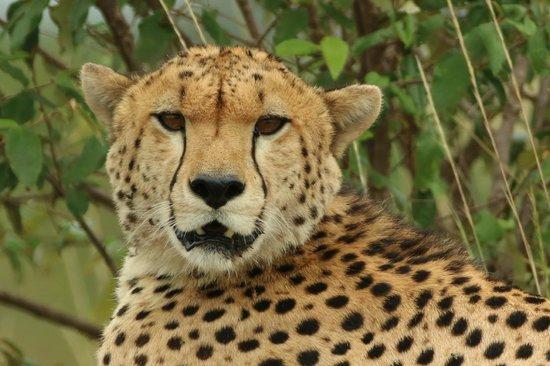 Porini Lion Camp: Curious cheetah..
