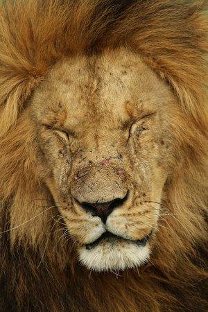 Porini Lion Camp : tired King...