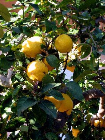 Hotel Baglio Santacroce : Zitronenbaum