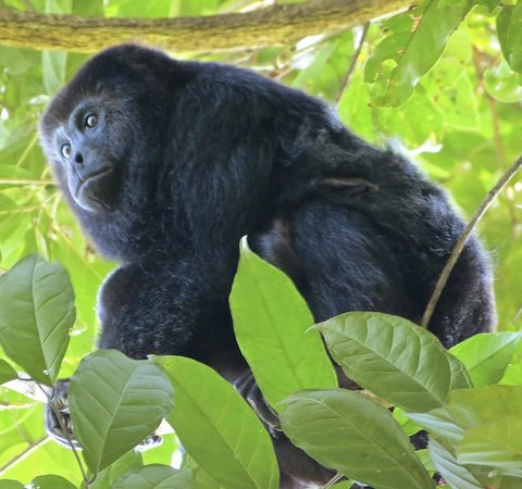 The Village Inn: Visited the Howler monkeys up the Monkey River