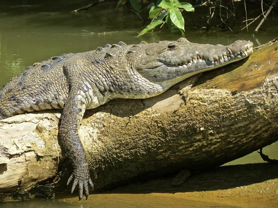 The Village Inn: Crocodile on Monkey River