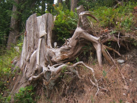 Willingdon Beach Trail: old tree stump