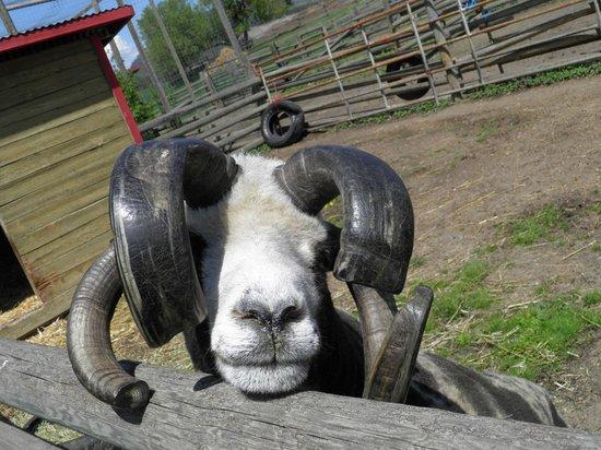 Historic O'Keefe Ranch: animals