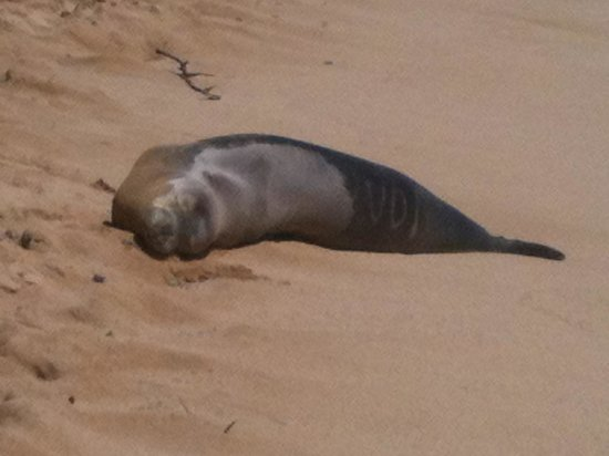 Marriott's Waiohai Beach Club: Monk seals and turtles right on the beach!