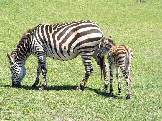 Safari Wilderness: Mama's boy