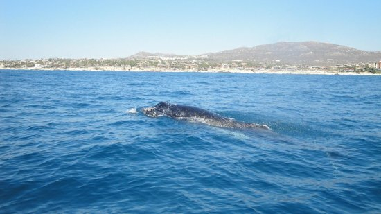 Cabo Expeditions: Whale