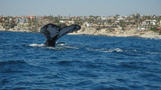 Cabo Expeditions: Whale tail