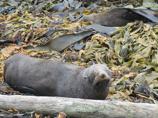 Kaikoura Apartments : seals in the wild