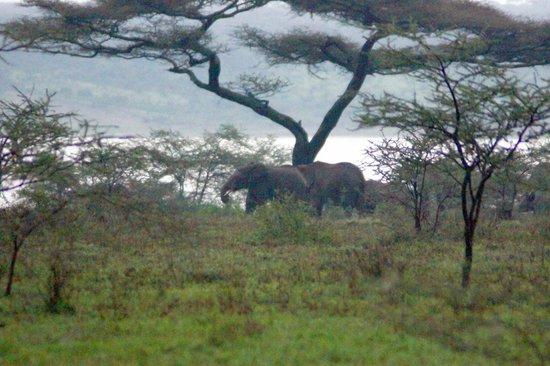 Ndutu Safari Lodge: Elephants before dinner
