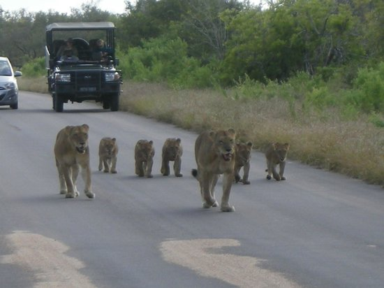 Jock Safari Lodge : Lions