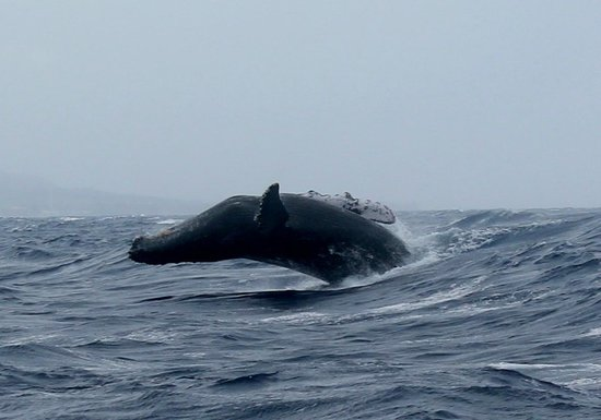 Trilogy Excursions : humpback breaching, somewhat