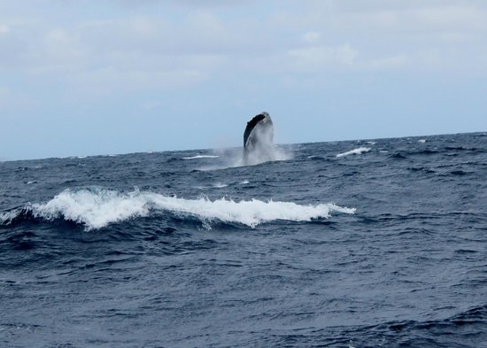 Trilogy Excursions : humpback starting its breach