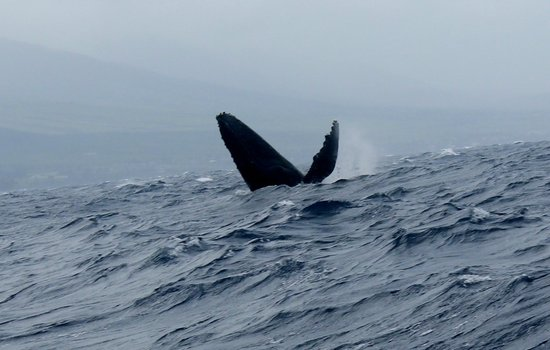 Trilogy Excursions : humpback diving