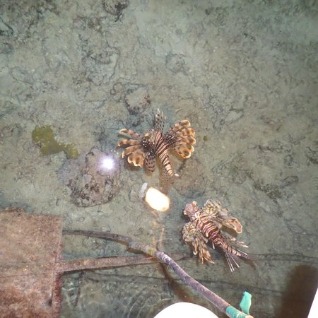 lion fish attracted to spot lights off the pier. photo taken at, Reel Combo