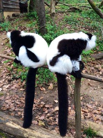 Reserve Zoologique de Calviac : Lémuriens