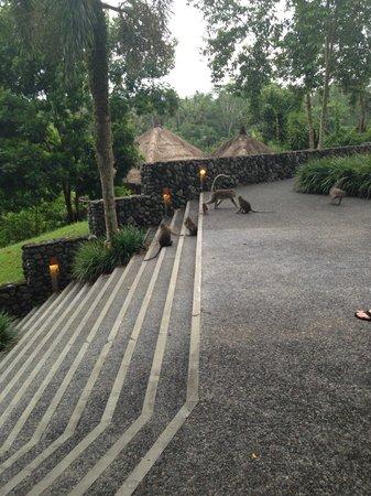 Alila Ubud: веселые длиннохвостые хозяева