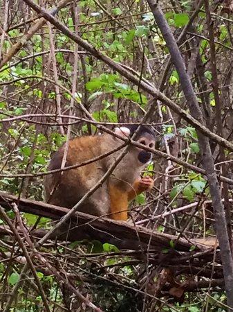 Reserve Zoologique de Calviac : Charnac, le petit saïmiri.