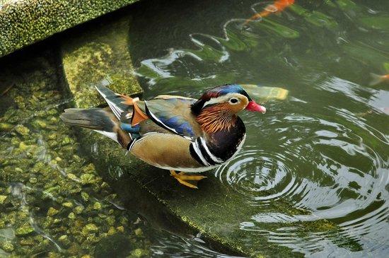 Kuala Lumpur Bird Park : Мандаринка