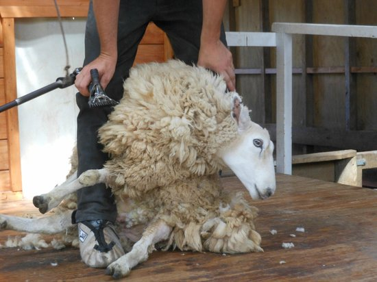 Sheepworld: Sheep Shearing