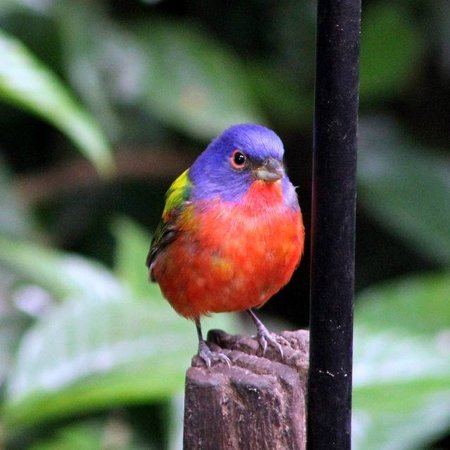 Merritt Island, FL: My first painted bunting site @ Visitor's Center
