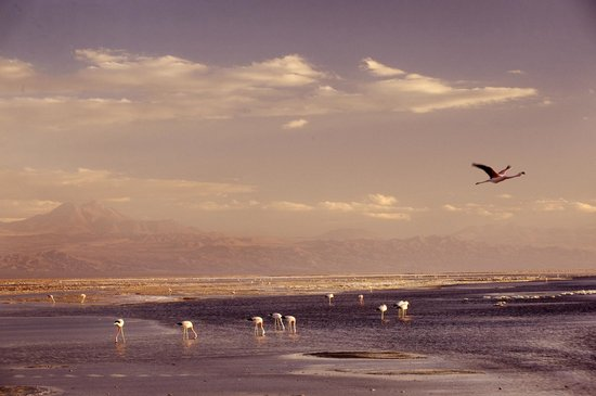 explora Atacama: Flamingos, The Atacama Salt Flats