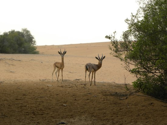 Al Maha, A Luxury Collection Desert Resort & Spa: Gazelles outside our door