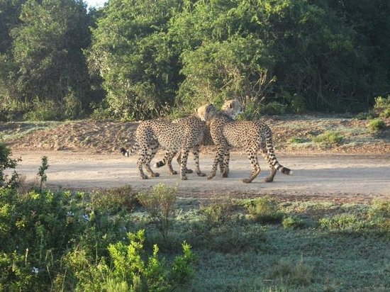 Pumba Private Game Reserve: 3  Cheetahs grooming each other