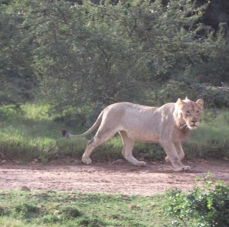 Pumba Private Game Reserve: Lion strolling around
