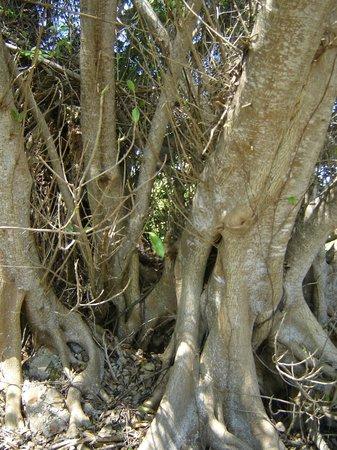 Island Boat Adventures : Banyan tree