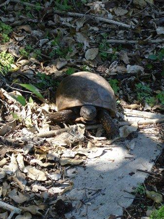 Island Boat Adventures : Egmont Key tortoise
