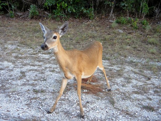 """National Key Deer Refuge: """"Don't touch my apple!"""" We were not the ones feeding it either!"""