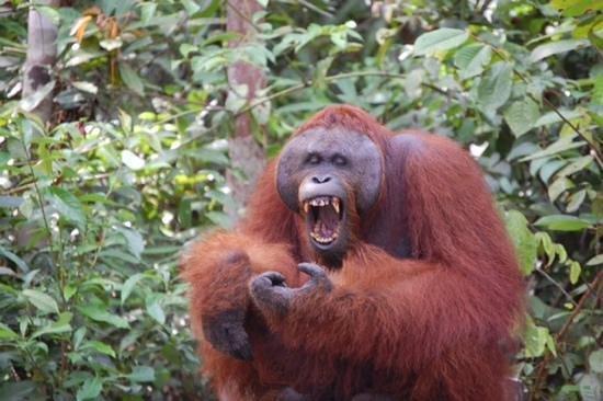 Rimba Orangutan Eco Lodge: haha