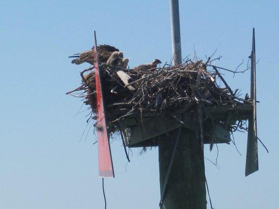 Clearwater Marine Aquarium: Osprey nest (with babies)