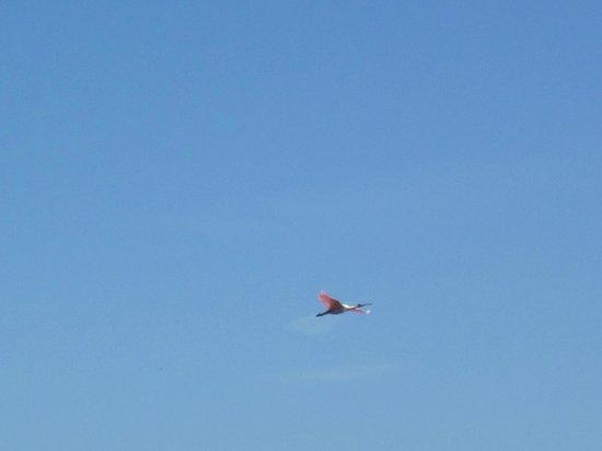 Clearwater Marine Aquarium: Roseate Spoonbill in flight