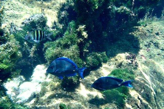 Yal-ku Lagoon: Blue Tang Fish