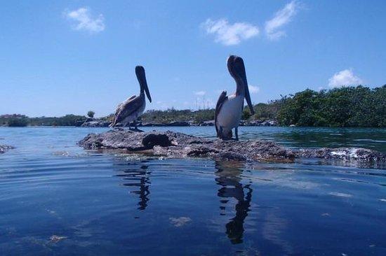 Yal-ku Lagoon: Pelicans
