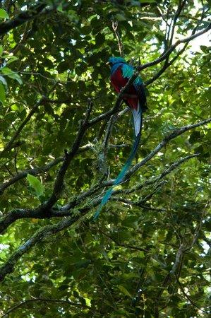 Monteverde Cloud Forest Biological Reserve : quetzal