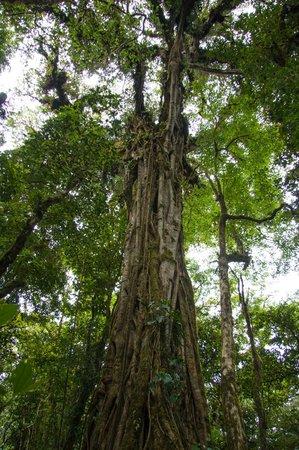 Monteverde Cloud Forest Biological Reserve : strangler fig