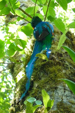 Monteverde Cloud Forest Biological Reserve : quetzal digging out a hole in a tree