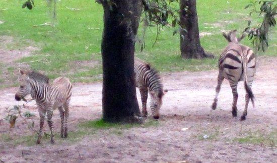 Disney's Animal Kingdom Villas - Kidani Village: Zebras