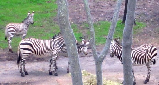 Disney's Animal Kingdom Villas - Kidani Village: Loved watching this zebra family